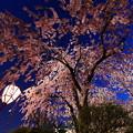 写真: 夜櫻之美