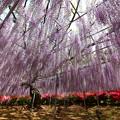 写真: 美麗紫藤