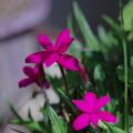 アッツザクラ 『捧げる花』