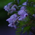 雨に濡れても美しく咲く『セッコク蘭』