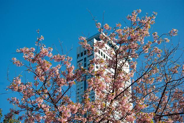りんくうタウンのヒマラヤ桜1