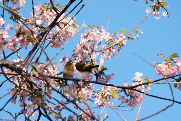 ヒマラヤ桜とメジロ1