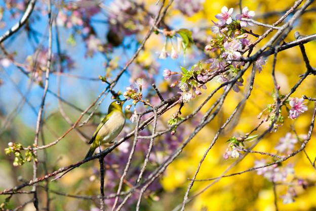 ヒマラヤ桜とメジロ2