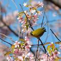 ヒマラヤ桜とメジロ3