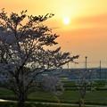 サクラの樹と夕陽