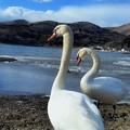 写真: 平野湖畔にて白鳥と