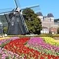 写真: オランダ風車とチューリップ