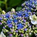 紫陽花の妖精