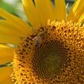 写真: 向日葵隠れの術