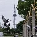 写真: 鳩達のロンド