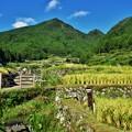 写真: 棚田の風景 (実りの秋)