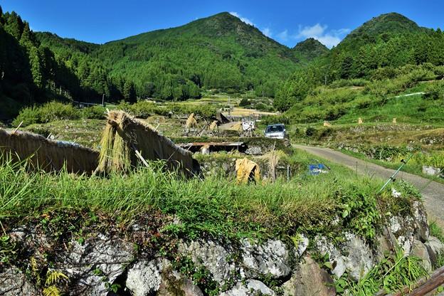 写真: 棚田の風景 (稲の天日干し)