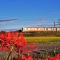 写真: 列車を見送る彼岸花