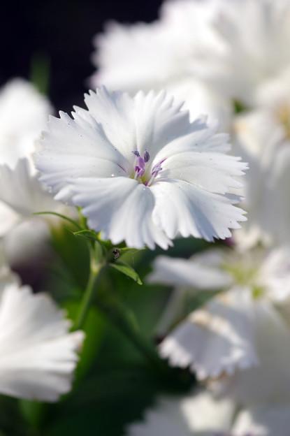 写真: 真っ白なナデシコ