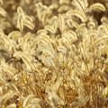 写真: 金色の輝き…