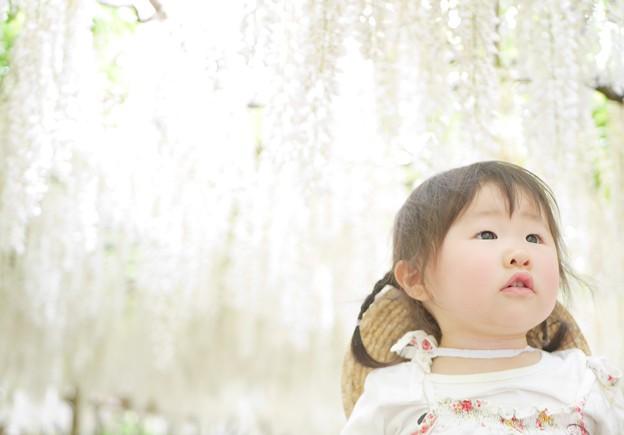 写真: 圧巻の白藤に圧倒される1歳の娘