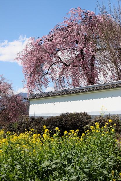 慈雲寺のイトザクラ(6)