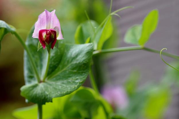 Photos: 豆の花(1)