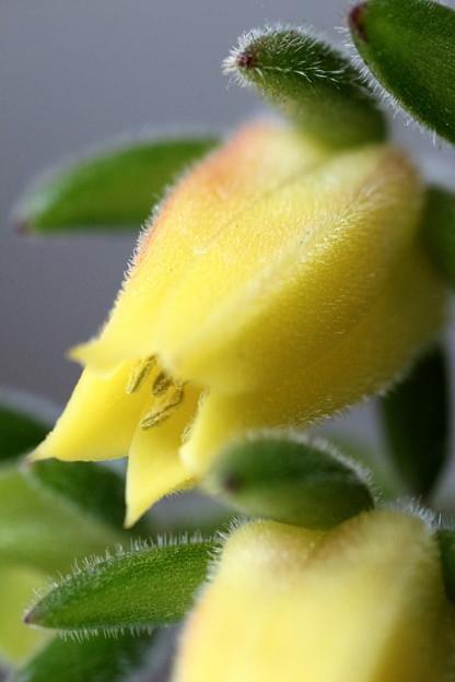 多肉植物エケベリア(6)