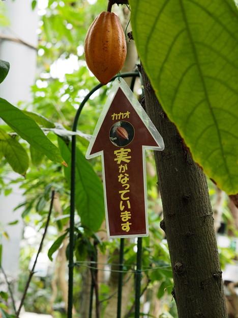 Photos: カカオの実(2)