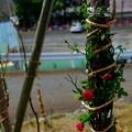 Photos: 冬支度?