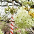 造幣局 桜の通り抜け 2017 (14)