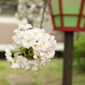 造幣局 桜の通り抜け 2017 (15)