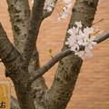造幣局 桜の通り抜け 2017 (26)