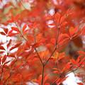 Photos: 狭山丘陵の紅葉