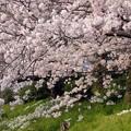 写真: 2017桜
