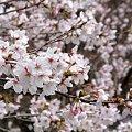 町内の桜1