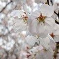 町内の桜2