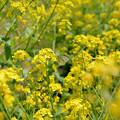 写真: 菜の花とスジグロシロチョウ