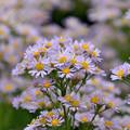 写真: 野路菊