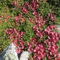 ウラシマツツジ 裏縞躑躅の紅葉です