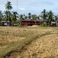 写真: 雨季になると田植えが始まります