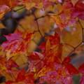 松原湖高原の紅葉