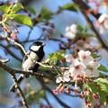 写真: 桜シジュウカラ