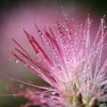 合歓の花・・・ネムノキ