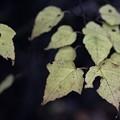 Photos: ウリカエデ(瓜楓) カエデ科の黄葉