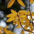 Photos: クロモジ(黒文字)  クスノキ科の黄葉