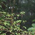 Photos: ウグイスカグラ(鶯神楽) スイカズラ科