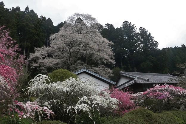 熊平家の花桃とエドヒガン(江戸彼岸)ウスズミザクラ(薄墨桜) バラ科