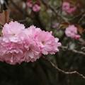 サトザクラ(里桜) バラ科 カンザン (関山)