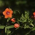 アカバナルリハコベ(赤花瑠璃繁縷) サクラソウ科