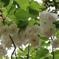 森林公園 里桜 フゲンゾウ(普賢像) バラ科