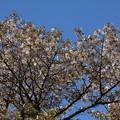 カスミザクラ (霞桜)  バラ科