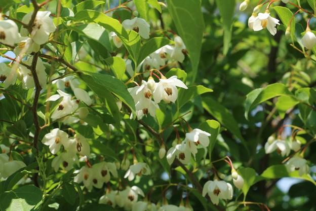 エゴノキ( 野菜莉)  別名:チシャノキ(萵苣の 木)  ロクロギ( 轆轤木)