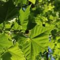 戦災で焼かれた木  プラタナス :スズカケノキ科 スズカケノキ(鈴掛の木)
