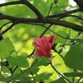 一番花のアマギツツジ(天城躑躅) ツツジ科